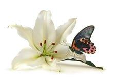Momento tranquilo com lírio branco e a borboleta bonita fotografia de stock
