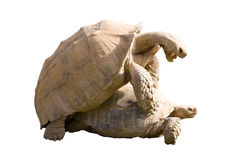 Moments from Tortoises Sex Life. Brown Aldabra Tortoises in love; isolated, clipping path included Stock Image