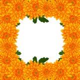 Momia amarilla, frontera de la flor del crisantemo aislada en el fondo blanco Ilustración del vector Imagen de archivo libre de regalías
