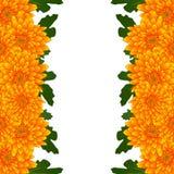 Momia amarilla, frontera de la flor del crisantemo aislada en el fondo blanco Ilustración del vector Fotos de archivo