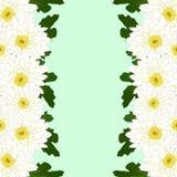 Momia blanca, frontera de la flor del crisantemo aislada en fondo verde de la menta Ilustración del vector Foto de archivo
