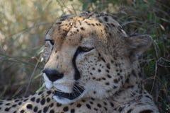 Momia del guepardo Imagen de archivo libre de regalías