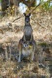 Momia y bebé del canguro en puesta del sol foto de archivo