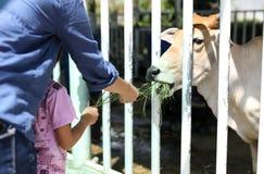 Momia y vaca de alimentación del doughter en prado en una granja Fotografía de archivo libre de regalías