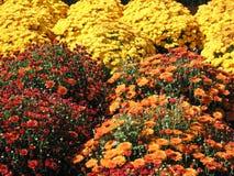 Momias del otoño fotografía de archivo