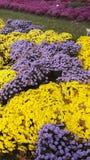 Momias púrpuras y amarillas de la belleza de la caída Foto de archivo libre de regalías