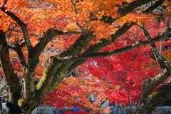 Momiji在日本 免版税图库摄影