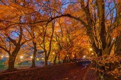 Momiji或槭树在晚上将打开 免版税库存图片