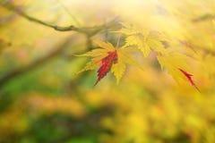Momiji το φθινόπωρο στοκ εικόνες
