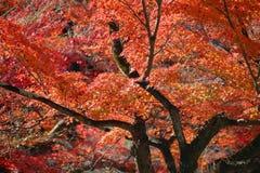 Momiji в Японии Стоковые Фото