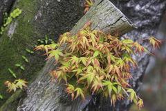 Momiji в японском саде в Kirishima Стоковые Изображения