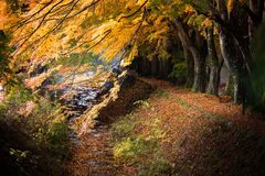Momiji隧道鸡爪枫红色黄色在秋天离开 库存图片