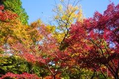 Momiji färger för japansk lönn Royaltyfri Foto