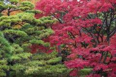 Momiji-Jahreszeit in Japan, Herbstlaub, sehr flacher Fokus Stockbild