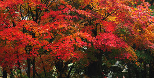 Momiji, japanischer Ahorn in der Herbstsaison Stockfotografie