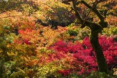 Momiji, japanischer Ahorn während des Herbstes Stockbild