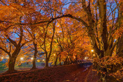 The Momiji or Maple will light up at night. Royalty Free Stock Image