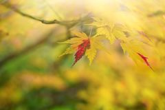 Momiji pendant l'automne images stock