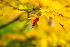 Momiji pendant l'automne photographie stock