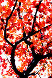 Momiji tree in kyoto japan. Red japanese maple autumn fall , momiji tree in kyoto japan Stock Image