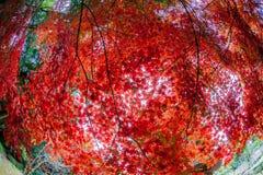 Momiji tree in kyoto japan Royalty Free Stock Photo