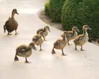 Momma和婴孩鸭子 库存照片