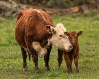 Momma母牛和小牛 免版税库存照片