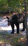 Медведь Momma стоковые изображения
