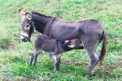 Momma и ослы младенца стоковые изображения