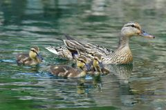 Momma и утки младенца стоковая фотография