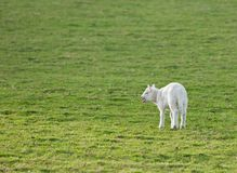 Momma!. Lamb (Ovis aries) cries for it's mother stock photo