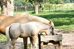 Momma and baby horse eating Royalty Free Stock Photo