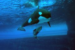 Momma and Baby Killer Whales. Killer whale momma and baby at Marineland Ontario Canada Stock Photo