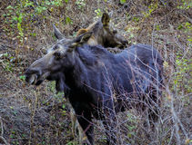 Momma and Baby Moose Royalty Free Stock Images