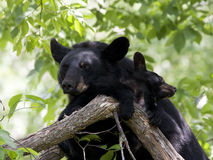 Momma Bear and Cub in Tree Royalty Free Stock Photography