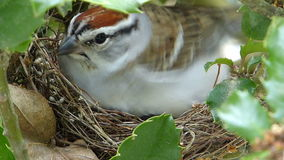 Momma Bird Sits On Her Nest. Closeup of a Chipping Sparrow sitting on the nest warming her nestlings stock footage
