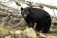 Momma black bear in yellowstone. A momma black bear on the side of a mountain in yellowstone national park stock photos