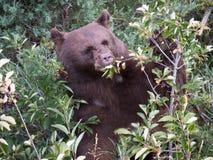 Momma czarny niedźwiedź po jagod Obrazy Royalty Free