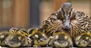Momma Duck. A mother duck surrounded by her chicks royalty free stock images