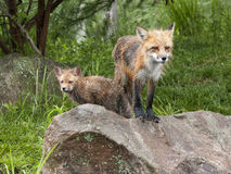 Momma Fox with Kit Stock Photos