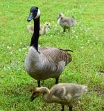 Momma goose and babies Royalty Free Stock Photo