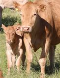 Momma and her calf royalty free stock images