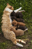 Cat nap while nursing kittens Royalty Free Stock Photo