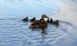 Momma Mallard and ducklings. A momma Mallard duck swimming with her ducklings Royalty Free Stock Photography