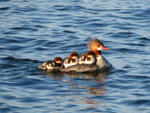 Momma Merganser and Chicks. A mother common merganser gives her three chicks a ride on her back on the blue waters of Lake Superior Stock Image