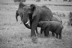 Momma and nursing baby Elephant in black and white Stock Image
