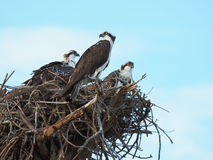 Momma Osprey Watches Over Her Two Nest Bound Chick Royalty Free Stock Photography