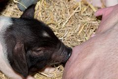 Momma pig feeding baby pigs Royalty Free Stock Photo