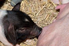 Momma pig feeding baby pigs Royalty Free Stock Photo