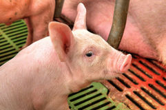 Momma pig feeding baby pigs Royalty Free Stock Photography